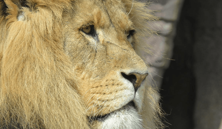 king of the jungle loin
